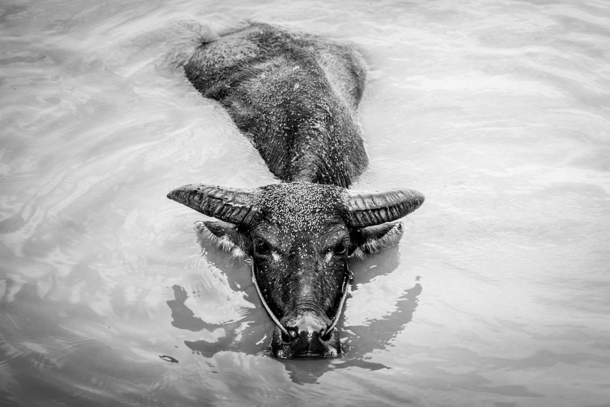 laos guida viaggi bufalo